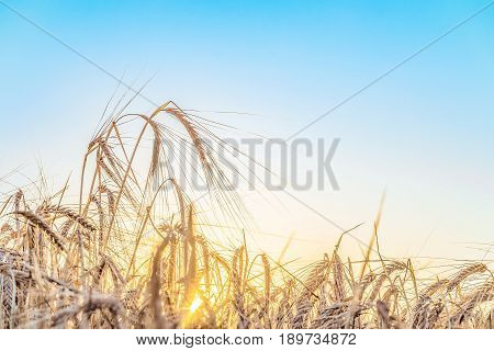 Agricultural background with ripe ears of rye in the golden rays of the low summer sun backlight. Rural scene with limited depth of field.