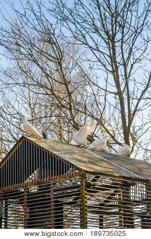 White pigeons on the roof of their dovecote. An old latticed dovecote from steel rods in the spring park at sunset.