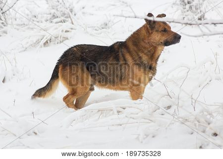 German winter dog in the snow watching