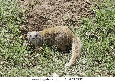 Mongoose In The Jungle
