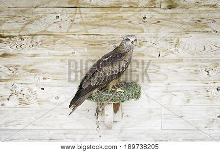 Captive Eagle Falconry