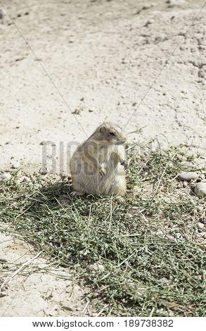 Prairie Dog Exotic Animal