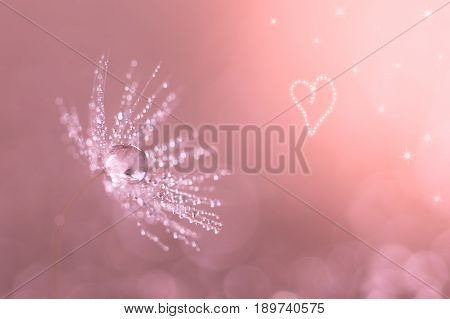 Dandelion closeup with water drops. Dandelion on a pink background with heart. Macro of a dandelion.