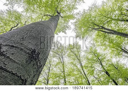 View of into the crown of spring beech trees