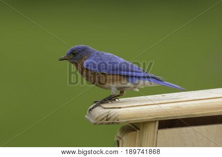A male Eastern Bluebird (Sialia sialis) sitting atop a nesting box in Taneytown, Carroll County, Maryland, USA.
