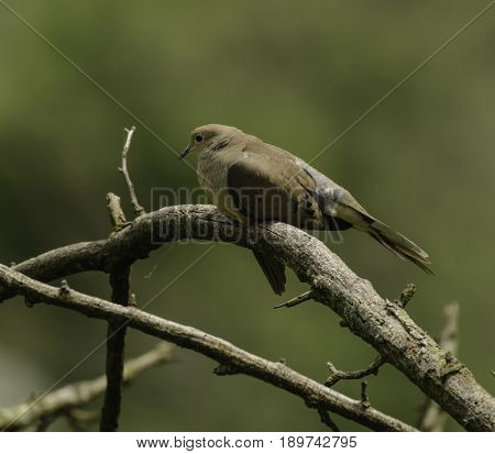 A Mourning Dove (Zenaida macroura) shown in left profile, roosting on a bare branch, with a blurred green background, in Gettysburg Pennsylvania, USA.