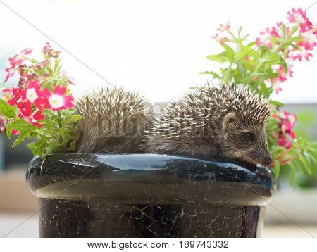 Two little Hedgehog in the pot with flowers