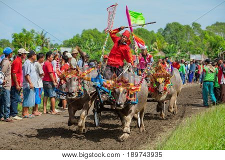 Jembrana Bali island Indonesia - 09 October 2016: Decorated running bulls in action on traditional balinese water buffalo race Makepung. Indonesian people culture ethnic festivals and events