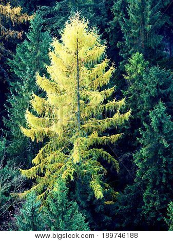 Yellow Larch Tree In Mountain Forest In Autumn