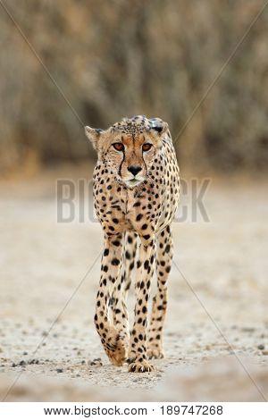 An alert cheetah (Acinonyx jubatus) walking, Kalahari desert, South Africa