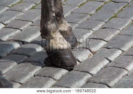 Hoof and leg of a grey horse on pavement