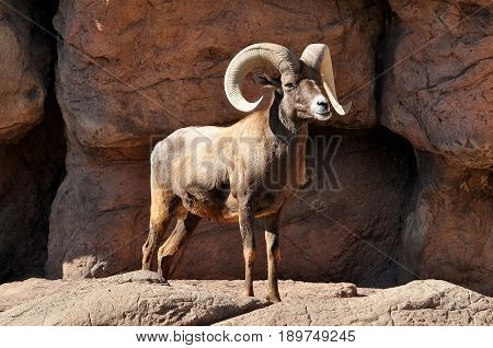 Bighorn sheep ram with large horns in the Rocky Mountains
