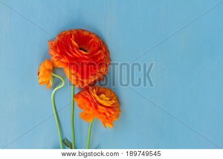 Orange ranunculus flowers on blue wooden background flat lay scene