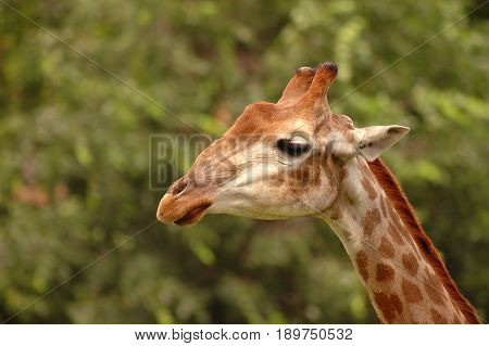 Cute young wild giraffe close up portrait. Sad giraffe. Africa wild life safari. World famous wild animals - giraffes