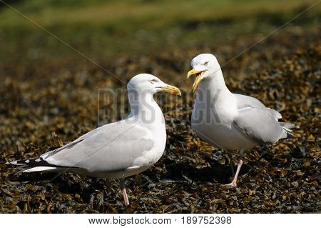 A pair of adult Herring Gulls squabbling over a patch of territory