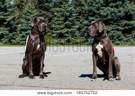 Two German mastiffs sit on the asphalt