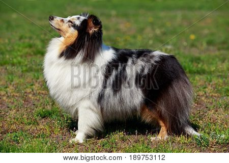 The dog breed Sheltie on a green grass
