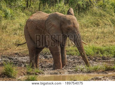 Young african savannah elephant bull at a waterhole spraying mud on his body as sun protection at the Hluhluwe iMfolozi Park in South Africa