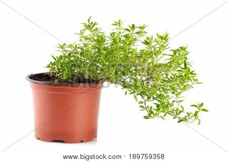 thyme herbs in pot isolated on white background.
