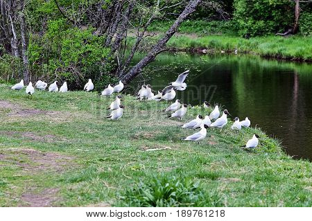 a flock of seagulls sitting on the river Bank