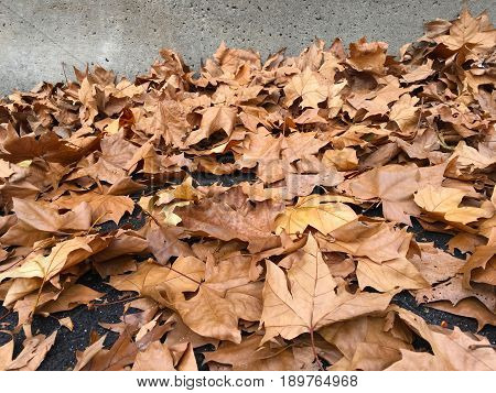 Dry autumn leaves of London planetree lies in the street against a concrete wall. Season concept. backgrounds and textures. copy space