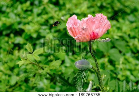 A bee is flying towards the Oriental Poppy Papaver Orientale 'Cedric Morris' in the garden.
