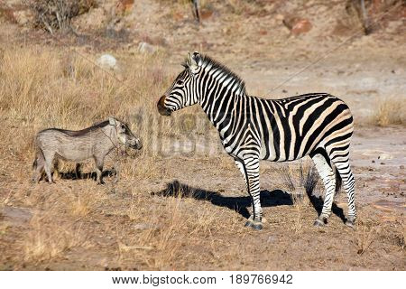 Picture of a warthog together with a Burchell's zebra in South Africa.