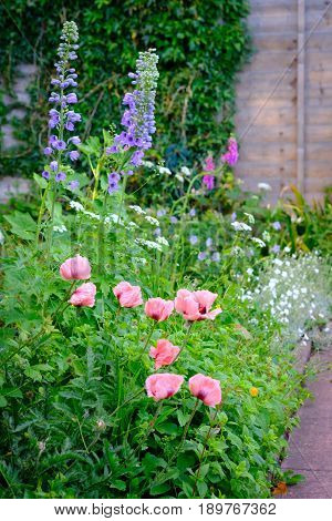 Oriental Poppy Papaver Orientale 'Cedric Morris' and other flowers blooming in the garden.