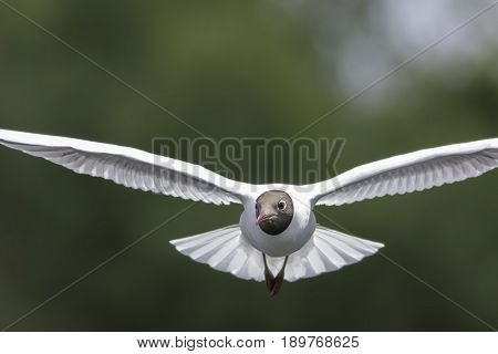 Black-headed gull (Chroicocephalus ridibundus) head on in flight. Flying towards camera. Blurred green background with copy space. Nature and wild bird image.