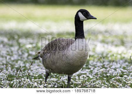 Canada goose (Branta canadensis) wild bird in a daisy strewn summer meadow. Wild bird standing on a field of daisies. Summer nature image.