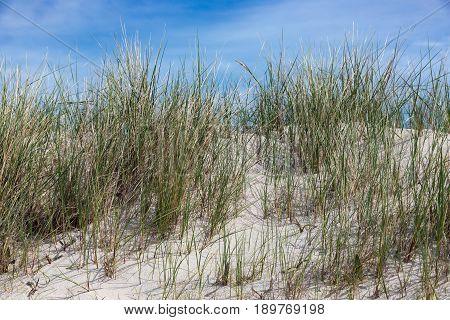 Marram grass at Dune German island near Helgoland