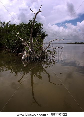 Dead tree trunks and branches hand over the calm waters of the Banana River near the mangroves of 1000 Islands Park in Cocoa Beach, Florida