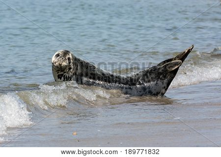 Grey seal resting at the beach of Helgoland Germany
