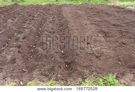 Dug Up A Field That Put The Potatoes In Rainy Weather