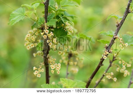 Flowering Currant Bush On A Background Of Blurred Green