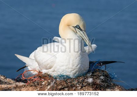 Northern gannet at her nest made of pieces of fishermen nets at the cliffs of German island Helgoland