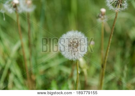 Dandelion In The Field. Dandelion Dry. Dandelion In The Summer.