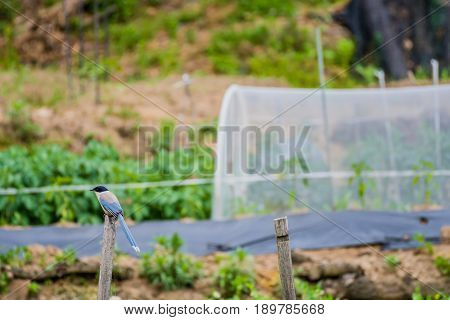 Azure-winged magpie perched on a wooden pole with a blurred background.