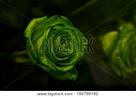 A green rose with green leaves on a dark background. Sensitive Focus.