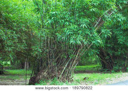 Bamboo in Phutthamonthon at Nakhon Pathom Province, Thailand.