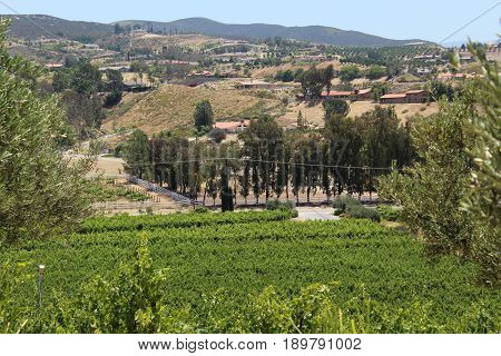 View of Temecula, California wine region with rows of bright green grapevines against a backdrop of tall dark green trees and golden rollling hills with gray mountains in the far distance