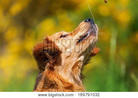 Golden Retriever Snatches For A Treat