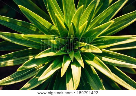 Green leaves of lilies in the sun's rays. View from above. Leaves in the form of asterisks.