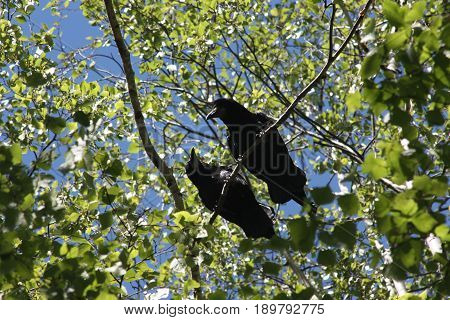 Crows In A Tree. Two Crows On A Branch