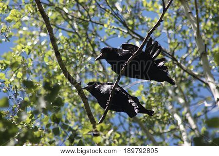 Crows In A Tree. Two Crows Husband And Wife