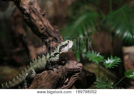 a Water Dragon in the jungle standing on wooden