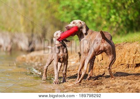 Weimaraner Dogs Fighting For A Treat Bag