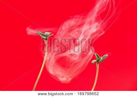Macro detail of cannabis sprout (BNC diesel marijuana strain) with the first two leaves, isolated over red background