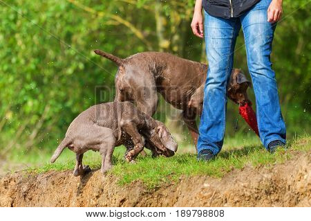 Weimaraner Adult And Puppy Playing Lakeside