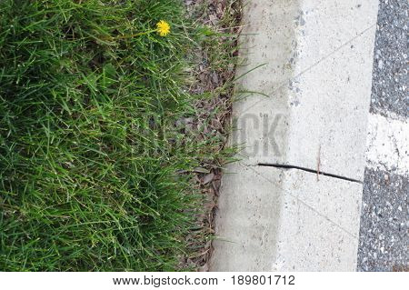 dandelion beside road in grass with curb